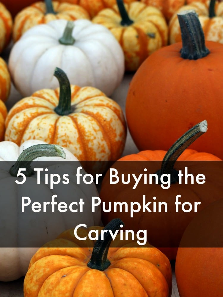 If you plan on carving a pumpkin this year, you need to shop for the perfect pumpkin. Not all pumpkins are good for carving and some carving pumpkins are better than others. Here are 5 tips for buying the perfect pumpkin for carving.