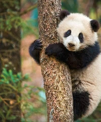 9 facts we learned from Producer Roy Conli about the filming of DisneyNature's Born in China