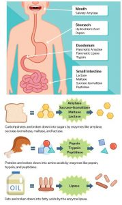 do probiotics help with constipation - digestion enzymes chart
