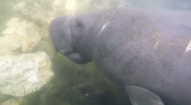 manatees up close . where to swim with manatees