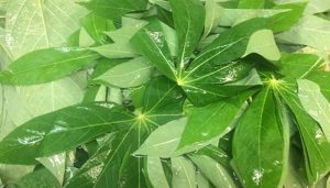 What are cassava leaves